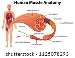 human muscle anatomy diagram... | Shutterstock .eps vector #1125078293