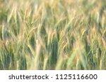wheat growing in field   close... | Shutterstock . vector #1125116600
