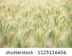 wheat growing in field   close... | Shutterstock . vector #1125116606
