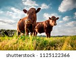 Beefmaster cattle standing in a ...