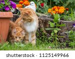 Stock photo little kitty with mother maine coon playing on the grass 1125149966
