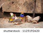 the gouldian finch or erythrura ... | Shutterstock . vector #1125192620