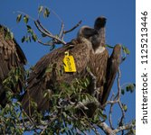 tagged whitebacked vulture... | Shutterstock . vector #1125213446