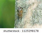 cicada isolated on green... | Shutterstock . vector #1125298178