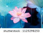 Blooming Lotus Or Waterlilly...
