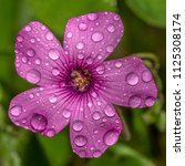 Small photo of Oxalis acetosella wet purple flower with dew drops