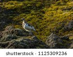 the rock ptarmigan  lagopus... | Shutterstock . vector #1125309236