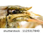 live crayfish close up ... | Shutterstock . vector #1125317840