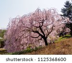 weeping cherry blossom tree ... | Shutterstock . vector #1125368600