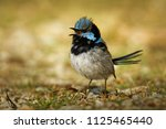 superb fairywren   malurus... | Shutterstock . vector #1125465440