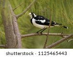 magpie lark   grallina... | Shutterstock . vector #1125465443