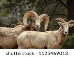 bighorn sheep in colorado | Shutterstock . vector #1125469013