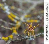 hamamelis branches coverd in... | Shutterstock . vector #1125503573