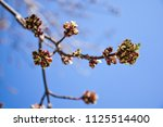 young maple buds on the...   Shutterstock . vector #1125514400