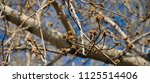 young maple buds on the...   Shutterstock . vector #1125514406