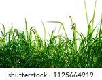 green grass isolated on white... | Shutterstock . vector #1125664919