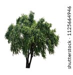isolated tree on white... | Shutterstock . vector #1125664946