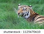 tiger in the grass | Shutterstock . vector #1125670610