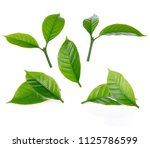leaves of arabica coffee... | Shutterstock . vector #1125786599