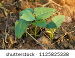 young sprout growing with... | Shutterstock . vector #1125825338