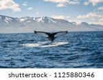 whale diving on the iceland... | Shutterstock . vector #1125880346