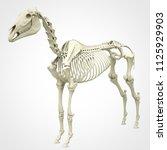 horse skeleton anatomy  ... | Shutterstock . vector #1125929903