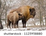 european bison  wisent ... | Shutterstock . vector #1125958880