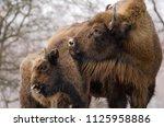 european bison  wisent ... | Shutterstock . vector #1125958886