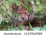 wild lynx in its natural... | Shutterstock . vector #1125963989