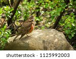 redwing bird sitting on a stone.... | Shutterstock . vector #1125992003