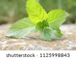 green leaf of mint in the... | Shutterstock . vector #1125998843