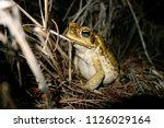 cane toad  rhinella marina in... | Shutterstock . vector #1126029164