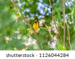 finch  gould's finch or the...   Shutterstock . vector #1126044284
