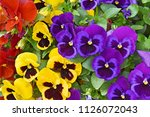 Closeup Of Colorful Pansy...