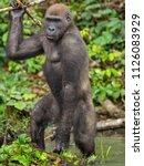 gorilla in gabon endangered... | Shutterstock . vector #1126083929