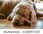 golden doodle dog puppy nappy... | Shutterstock . vector #1126097210