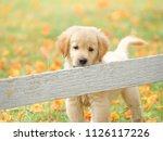cute puppy golden retriever... | Shutterstock . vector #1126117226