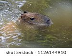 a capybara in the water | Shutterstock . vector #1126144910