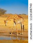 giraffe drinking water from the ... | Shutterstock . vector #1126188740