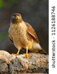 roadside hawk  rupornis...   Shutterstock . vector #1126188746