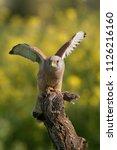 lesser kestrel  male  eating a...   Shutterstock . vector #1126216160