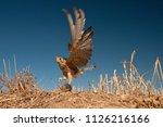 lesser kestrel  female  hunting ...   Shutterstock . vector #1126216166