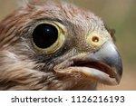 lesser kestrel  breeding  falco ...   Shutterstock . vector #1126216193