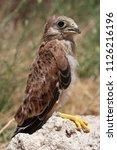 lesser kestrel  breeding  falco ...   Shutterstock . vector #1126216196