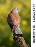lesser kestrel  male  falco...   Shutterstock . vector #1126216199