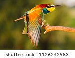 exotic bird sits on a branch... | Shutterstock . vector #1126242983