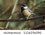 a great tit is sitting on a... | Shutterstock . vector #1126256390