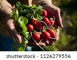 farmer holding fresh picked... | Shutterstock . vector #1126279556