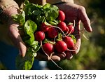 weathered hands holding radishes | Shutterstock . vector #1126279559