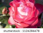 flowering noble nostalgia | Shutterstock . vector #1126286678